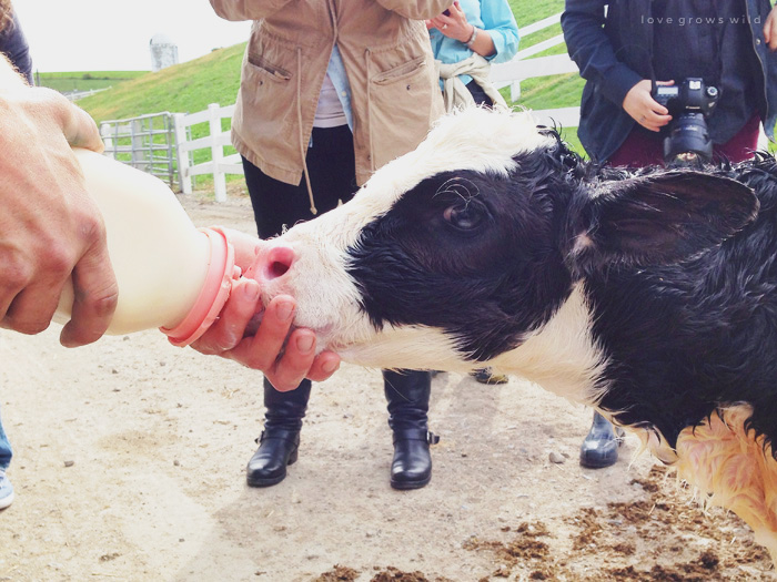 Ohio Dairy Adventure | LoveGrowsWild.com