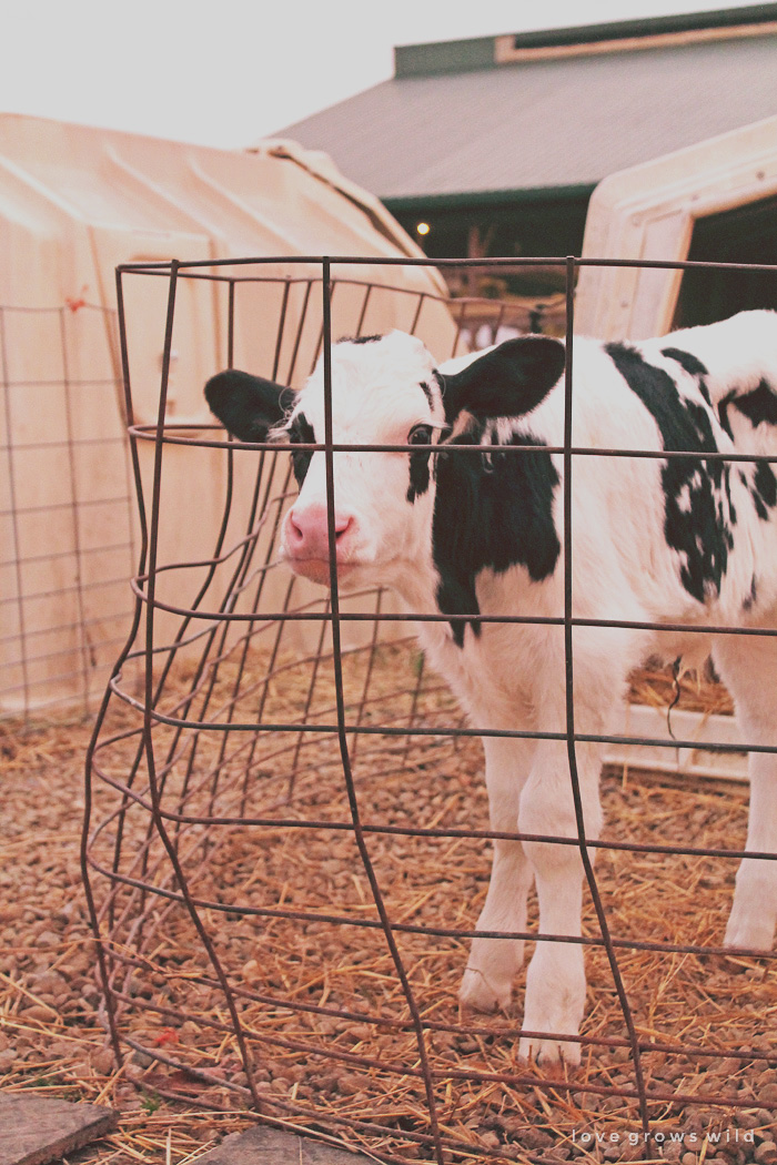 Ohio Dairy Adventure   LoveGrowsWild.com
